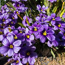 Sisyrinchium bellum Rocky Point blue-eyed grass