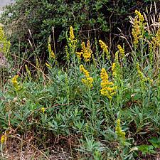 Solidago californica  California goldenrod