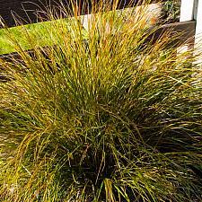Stipa arundinacea  pheasant's tail grass