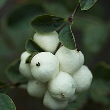 Symphoricarpos albus  snowberry