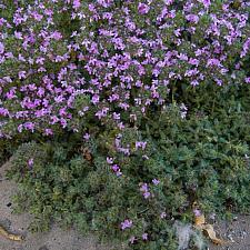 thymus lanuginosus  wooly thyme