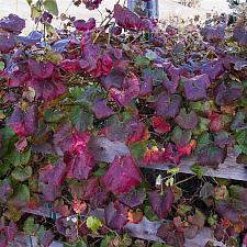 Vitis x californica Roger's Red wild grape